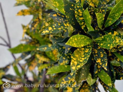 Аукуба - Aucuba: фото, условия выращивания, уход и ...