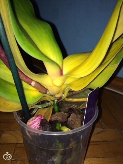 Пожелтела орхидея почему